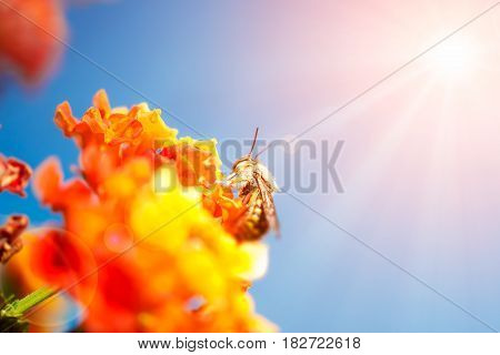 Bee on the orange flower on the sky background