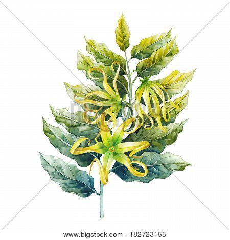 Watercolor ylang ylang branch. Hand painted leaves and flowers isolated on white background. Herbal medicine and aroma therapy