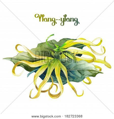 Watercolor ylang ylang design. Hand painted leaves and flowers isolated on white background. Herbal medicine and aroma therapy