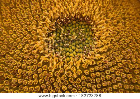 Sunflower pistil and pollen part macro image