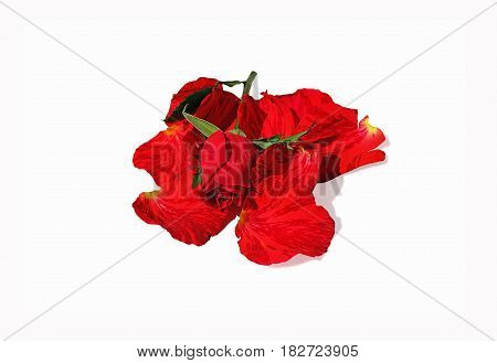Nuanced beautiful red rose on petals isolated on white background