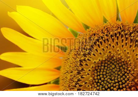 Springtime sunflower pistil and petals photo background