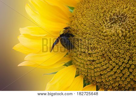 Bumble bee working hard for nectar on a sunflower