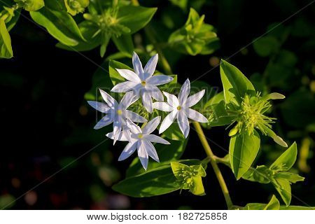 Jasminum multiflorum 7 Petals Nature Flowers White