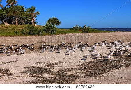 Beach with seabirds (seagulls and Black skimmer) in the Howard Park Tarpon Springs Tampa Florida USA.