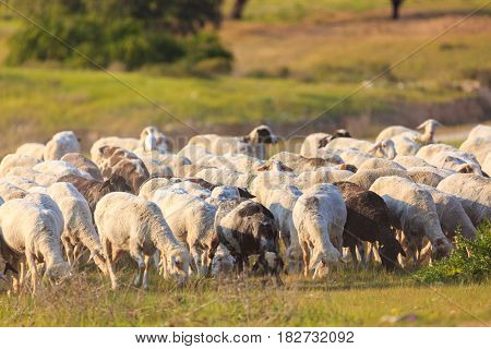 A Herd Of Sheep Walking Along The Grass