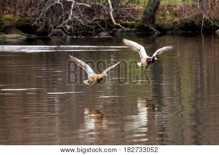 Two mallards flying over Belmont Lake in a New York State Park