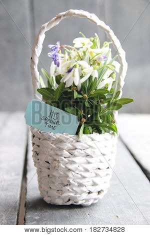Spring snowdrop flowers in wicker basket on rustic table