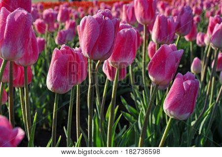 Beautiful pink spring tulips with morning dew