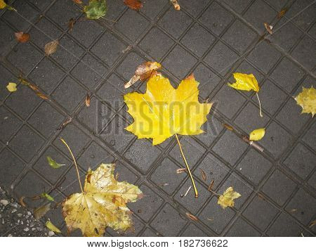 Autumn yellow leaves on the gray sidewalk
