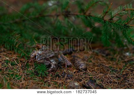 Side view of frog hiding in the ground cover at the forest