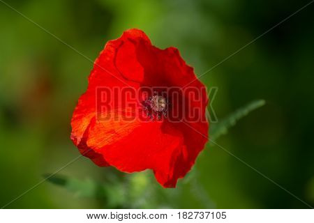 Red poppy in a meadow closeup. Flowers