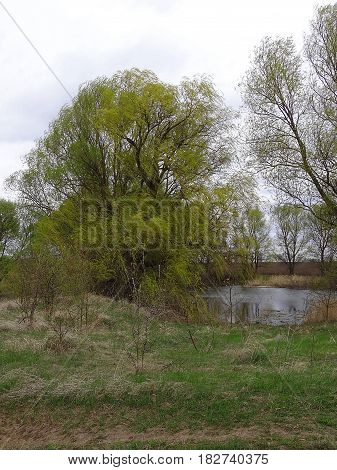 A green tree on the shore of a lake overgrown with plants