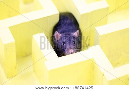 Gray decorative rat in a logical labyrinth when studying the reflexes and way of thinking of an animal