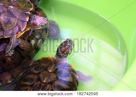 Decorative sea turtles in an open terrarium float in a plastic pond