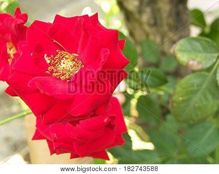 fotografía en plano de detalle de Rosa roja