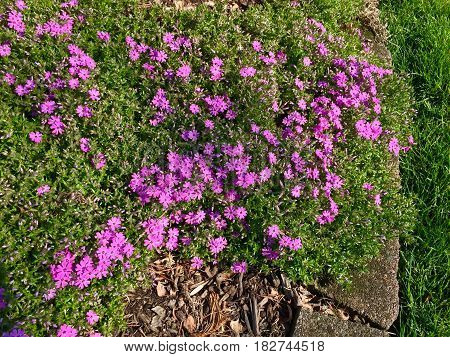 Pink and purple flower bushes spreading along the side walk