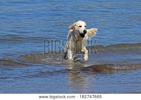 An english cream golden retriever playing a game of fetch in the ocean.