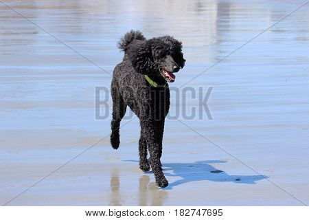 A black standard poodle running on the beach in summer