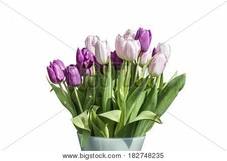 Spring bouquet of pink and white tulips isolated on the white background in a bucket