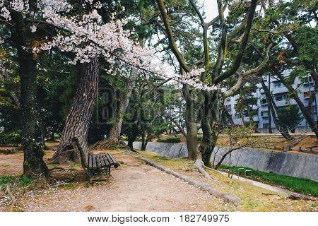 Wooden Park Bench Alone In Sakura Garden