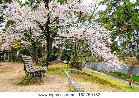 Wooden park bench alone in sakura garden Empty park bench