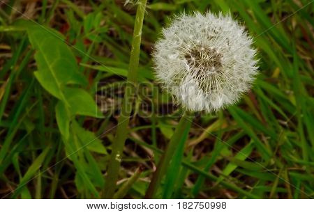 Single dandelion puff close-up about to release seeds