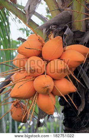 Coconuts hanging from the tree A bunch of yellow orange coconuts hang from the tree waiting for harvest time.