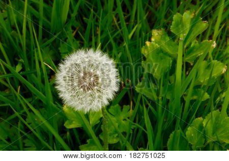 Single dandelion puff ready to release seeds