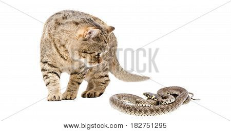 Cat Scottish Straight and snake, isolated on white background