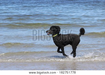 A black standard poodle running on the beach