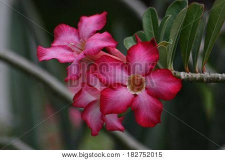 desert rose flowers, front view Desert Rose flowers are also known as adenium obesum, mock azalea and impala lily.