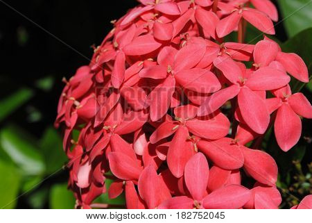 Santan flower or ixora coccinea Ixora Coccinea is called santan in the Philippines are small flowering shrubs that grow in tropical climates.