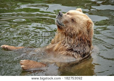 Animal close-up photography. Brown bear swimming in the water.