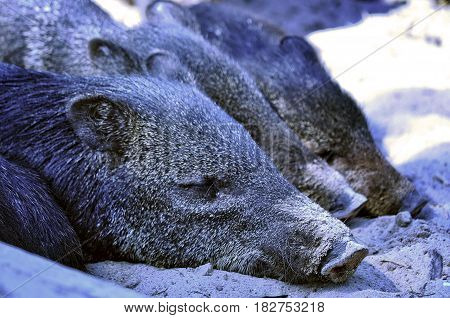 Wild boar cubs lying in the same row.