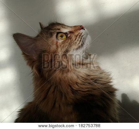 Cute profile of fluffy cat close-up. The head of the kitten raised upwards. On the white wall are wide shadows