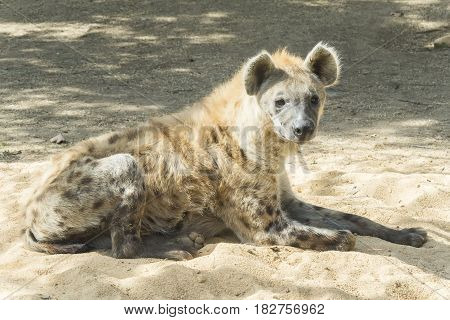 One Spotted hyaena staring at something staying quite