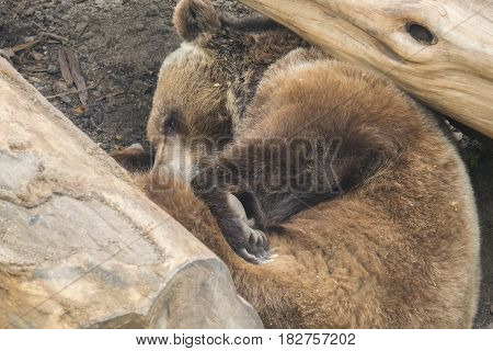 Brown bear sleeping among some trunks, calm and relaxed