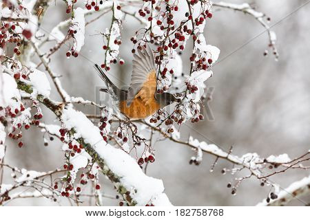 American Robin And Snow