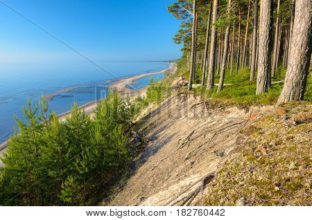 Steep bank  and pine forest on the beach of the Baltic Sea coastline, Latvia.