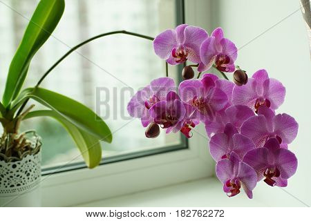Lilac Orchid On The Window, Many Flowers On The Stem, Potted Plant