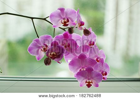 Lilac Orchid On A Window Background, Many Flowers On A Stalk
