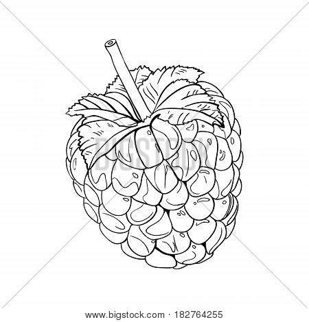 Raspberry in vintage style. Line art vector illustration. Black on white.