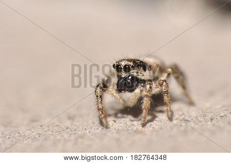 Jumping spider on a wall. Camouflage, gray spider on gray stone
