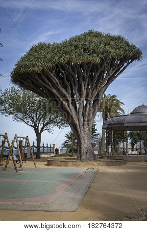 Old tree of variety Dracaena Draco in Genoves Park in Cadiz Andalusia Spain