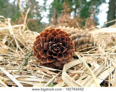 spruce cones on natural background , spruce cones ,