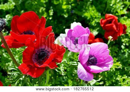Beautiful red and pink poppies  in spring garden Keukenhof, Holland,Netherlands