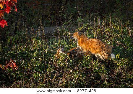 Red Fox (Vulpes vulpes) Conflict - captive animals