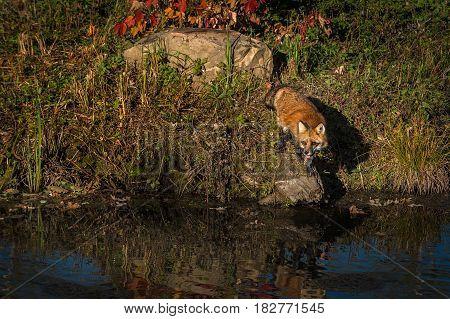 Red Fox (Vulpes vulpes) Looks Left From Rock - captive animal