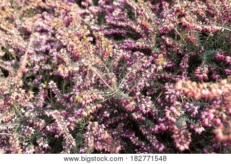 Detail Of Beautiful Purple Heather In Blossom